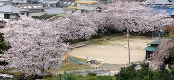 2013 桜咲く.JPG