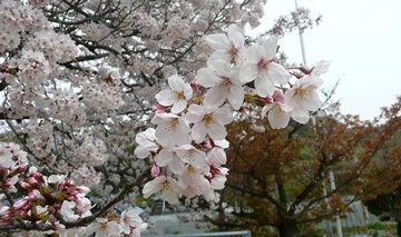 2013 桜咲く2.JPG