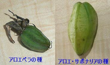 アロエの実(種).JPG