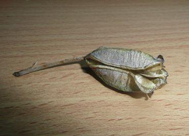 アロエ・サボナリアの種.JPG