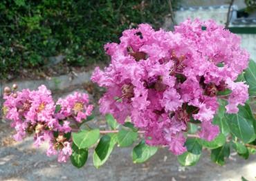 サルスベリの花.JPG