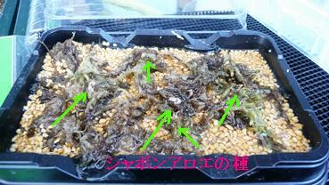 シャボンアロエの種子2.JPG