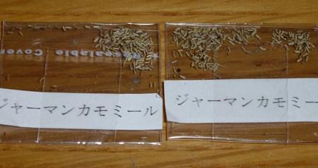 ジャーマンカモミール 種植え1.JPG