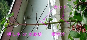 根付・挿し木・水栽培ミラクルリーフ.JPG