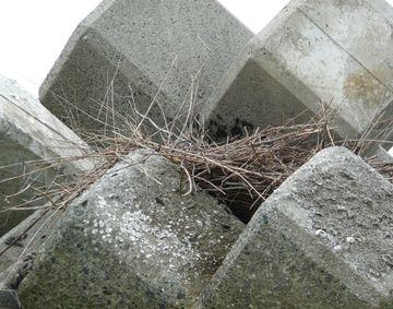 海鳥の巣.JPG