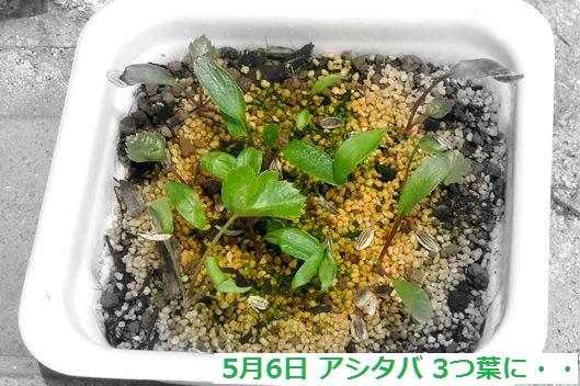 アシタバ 3つ葉.JPG