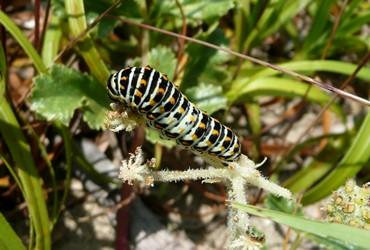 キアゲハの幼虫.JPG