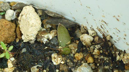 パームヤシの鉢でアロエ発芽0815-1.JPG