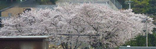 公園 桜 満開 4月7日.JPG